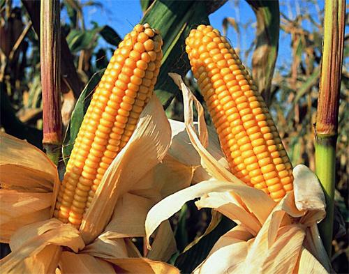 Argentina se convertirá en el segundo exportador mundial de maíz